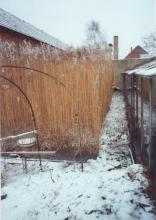 Reed bed in winter