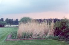 Reed bed in summer